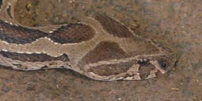 Natural de Asia, con una longitud máxima de 1,7 metros (5 pies con 5 pulgadas). Foto:Vía Wikipedia.org