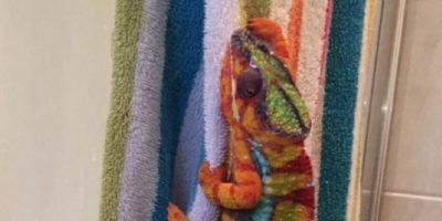 Miren cómo toalla de colores logró confundir a este camaleón