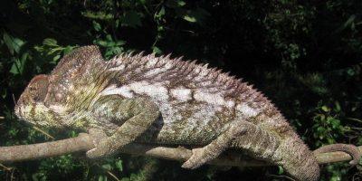 El grupo es bastante antiguo, ya que se conocen fósiles de camaleón procedentes del Paleoceno. Foto:Wikipedia