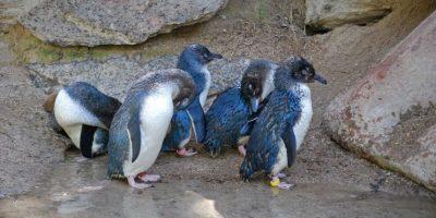 Zorro entró a zoológico y acabó con la vida de 14 pingüinos
