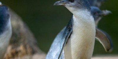 Las víctimas eran pingüinos azules Foto:Vía zoo.org.au