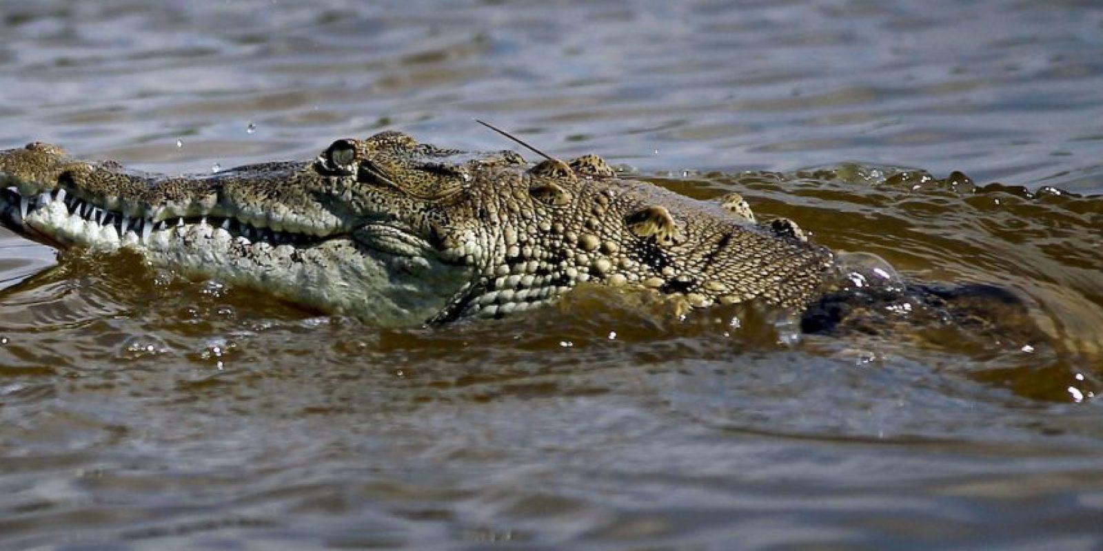 Estos animales llegan a medir desde tres a 10 metros de largo. Foto:Getty Images