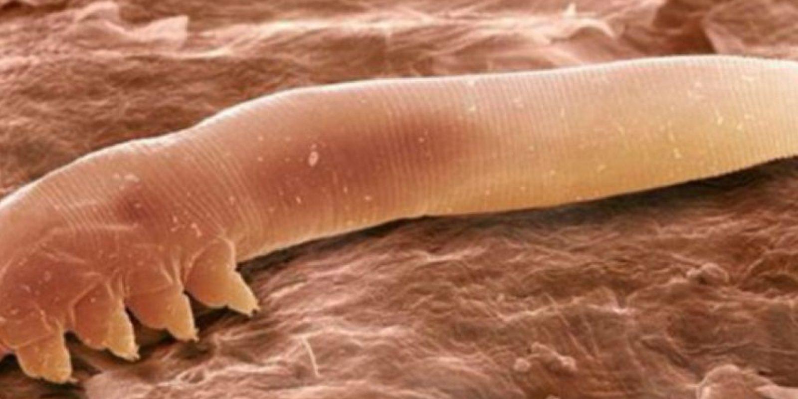 Ellos se comen su piel muerta. Que también está en forma de polvo. Foto:vía Wikipedia