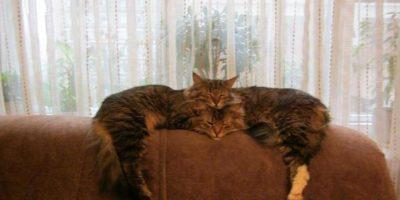 Este gato no es un fenómeno: realmente son dos gatos. Foto:Reddit