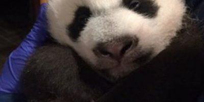 Ambos pandas son una de las mayores atracciones del zoológico. Foto:Vía facebook.com/nationalzoo