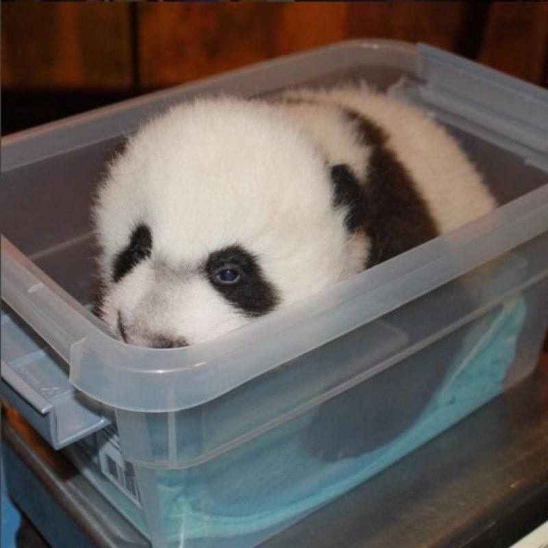 Mei Xiang, su mamá estuvo al pendiente de él en todo momento. Foto:Vía facebook.com/nationalzoo