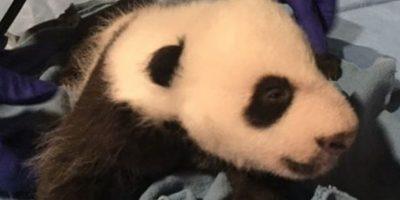 El pequeño cumplirá tres meses el próximo 22 de noviembre. Foto:Vía facebook.com/nationalzoo