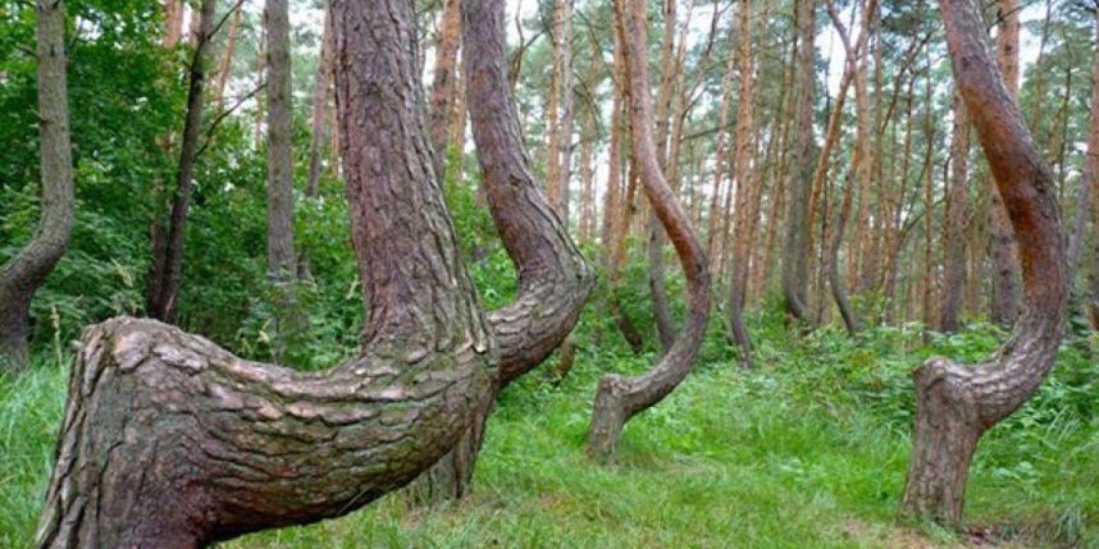 """El """"Crooked Forest"""" está localizado en Europa del Este. Foto:Wikimedia"""