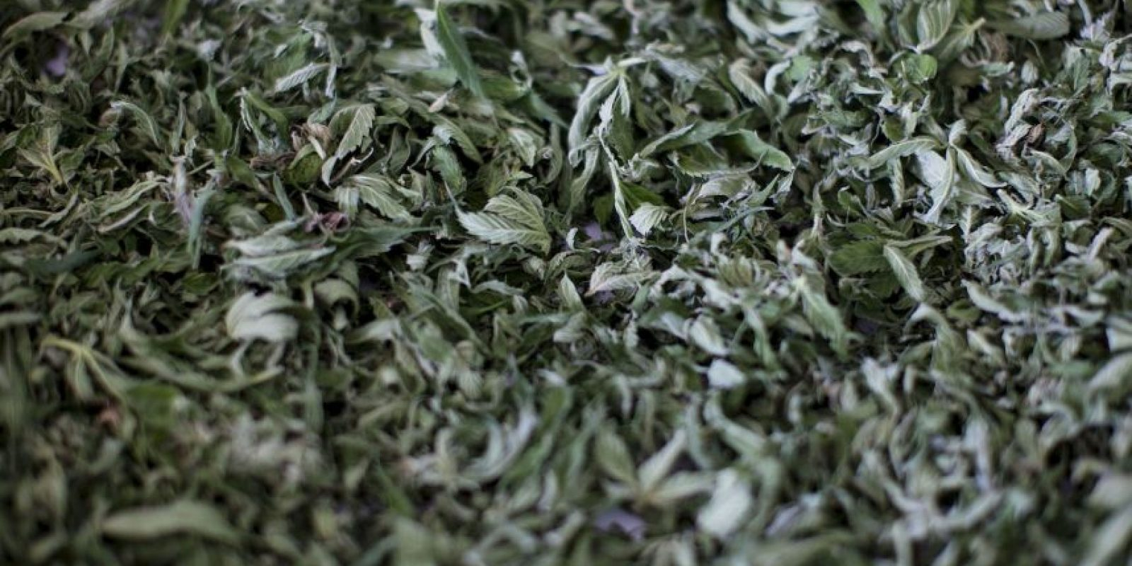 8. Puerto Rico- Este año el Gobernador de Puerto Rico, Alejandro García Padilla, ordenó legalizar el uso medicinal de derivados de marihuana en la isla. Foto:Getty Images