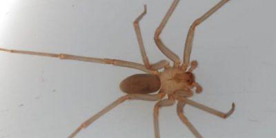 La picadura de esta araña da escalofríos, picazón, náuseas. Foto:vía Wikipedia