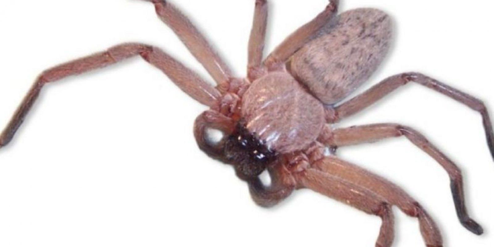 Araña Ratón: también vive en Australia. Los síntomas que produce su mordedura son iguales a los de la araña embudo. La estructura celular del área infectada comienza a cambiar y esto produce un inmenso dolor en su víctima. Foto:vía Wikipedia