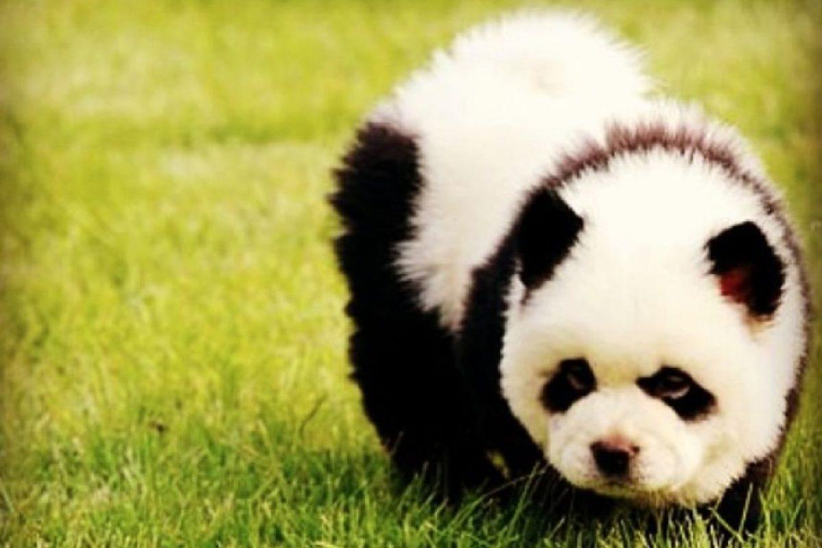 En China, una tienda de mascotas tuvo la idea de brindarle una apariencia de pandas a perros de raza Chow chow Foto:Vía Instagram/#PandaChowchow