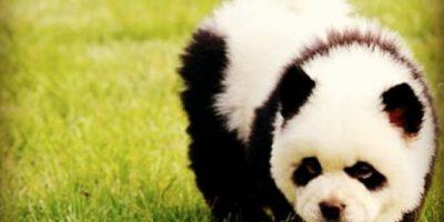 Video: Lo crean o no, este animal realmente no es un panda