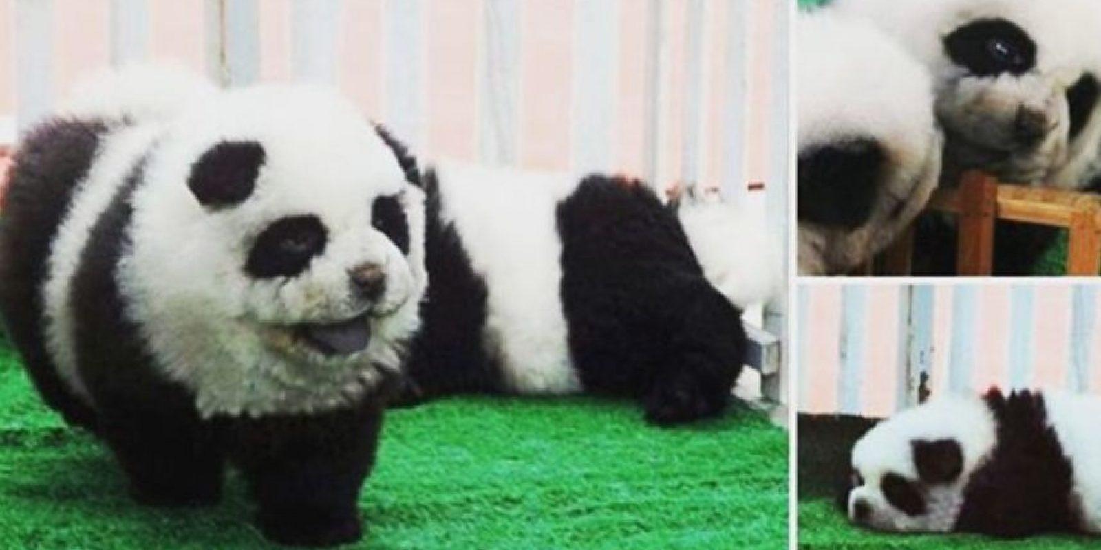 """""""El look permanece en el perro por alrededor de seis semanas y los dueños deben traerlos de vuelta para algunos retoques"""", se informó en el medio británico """"BBC"""". Foto:Vía Instagram/#PandaChowchowPandaChowchow"""