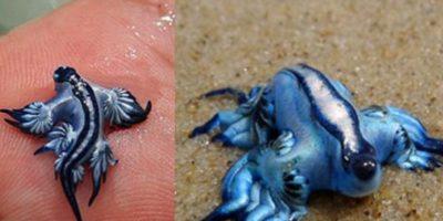 Podría resultar el ser más extraño que hayan visto –por sus colores y forma de desplazarse–, sin embargo, se trata de un Blacucus atlánticus, también conocido como Dragón azul. Foto:Vía Puc.cl