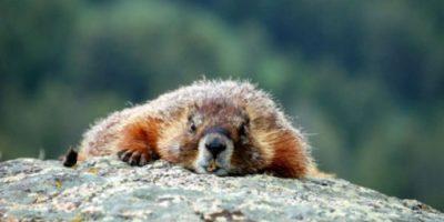 Están bien adaptadas al frío gracias a sus cuerpos rechonchos, denso pelo, orejas reducidas y gran cola. Foto:Wikimedia