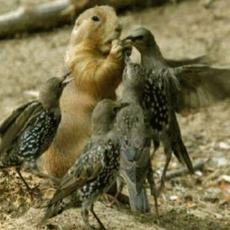 Las marmotas son animales muy sociables que usan una gran variedad de sonidos para comunicarse entre ellas, sobre todo cuando tratan de advertirse de un peligro. Foto:Tumblr
