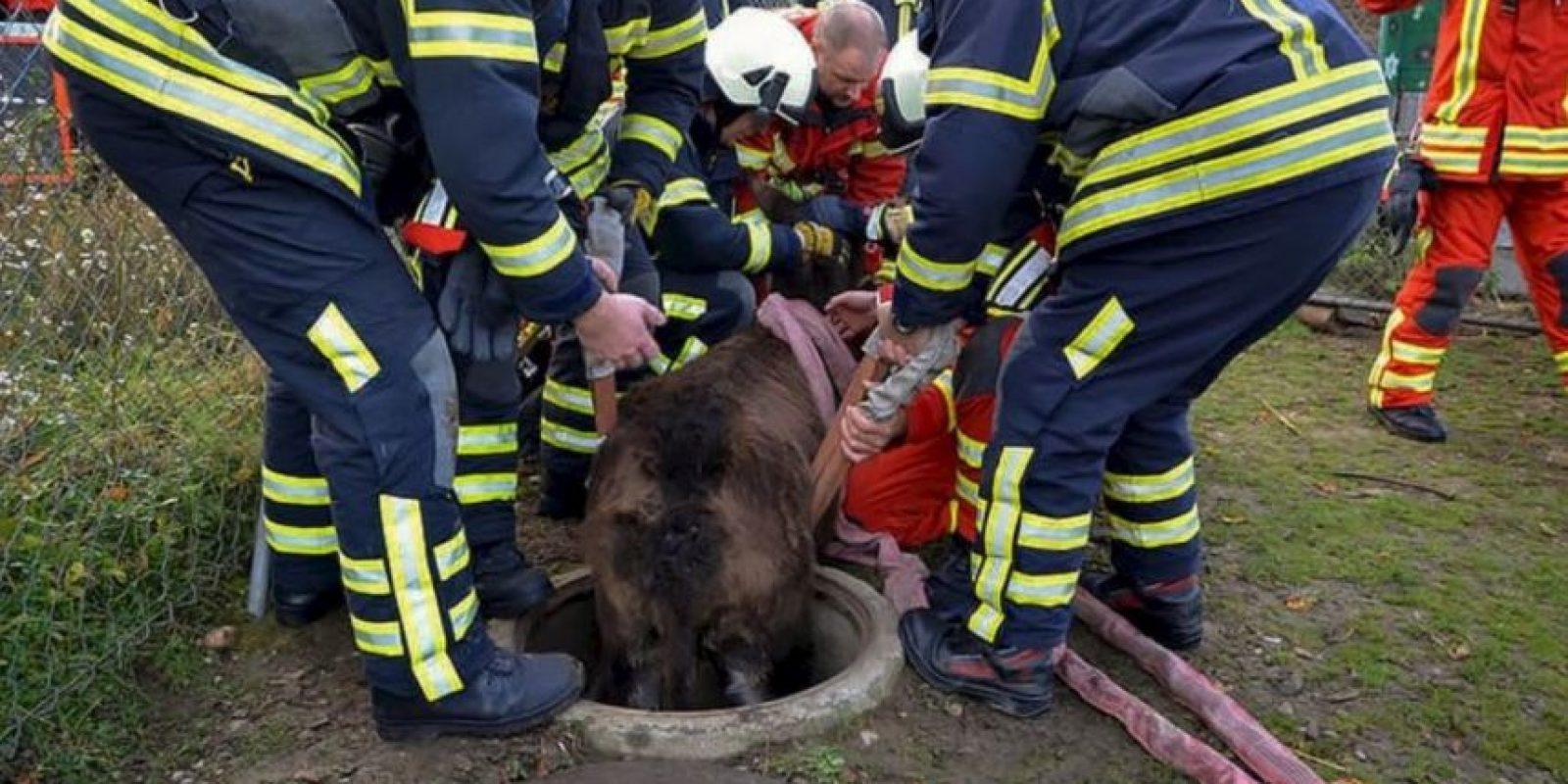 Un grupo de bomberos tuvo que rescatar a un burro que cayó en una coladera en Pratteln, Suiza, reseñó el portal británico Daily Mail. Foto:AFP