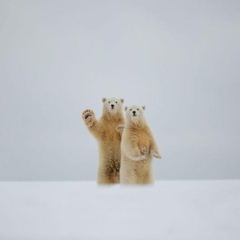10- Animales Bizarros. Hola, dice el oso. Dos osos polares están de pie, mientras que uno parece hacerle un gesto amistoso a algo en la distancia. Los dos cachorros estaban de hecho mirando a un par de cachorros y su madre. La fotógrafa aficionada Laura Keene vio a los animales durante su visita el norte de Alaska. Foto:Solent News