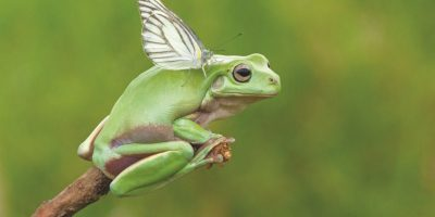 2- Animales raros. Un sapo voladorEsta rana parece que está a punto de volar, mientras posa en lo alto de una rama y parece tener alas germinadas. Pero las alas pertenecen a otra pequeña criatura, una mariposa blanca que está sentada sobre la rana. Foto:SOLENT NEWS3