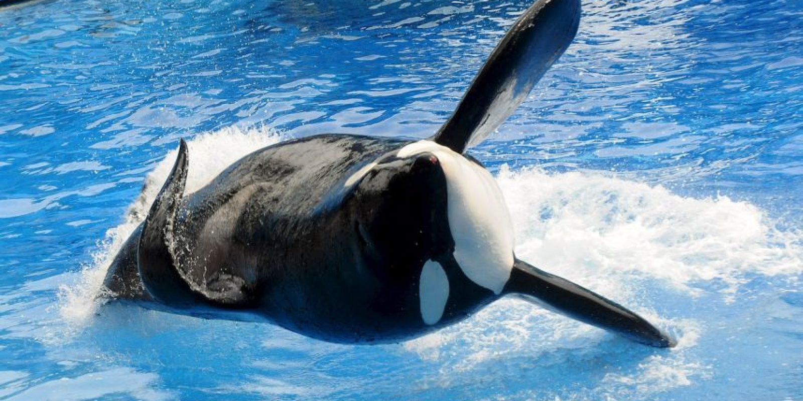 Su aleta dorsal puede medir hasta dos metros de largo Foto:Getty Images