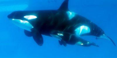 """Se les considera """"superdepredadoras"""" al no haber otros mamíferos que las ataquen Foto:Getty Images"""