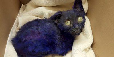 Pitufo llegó en muy malas condiciones a la fundación Nines Lives. Foto:facebook.com/NineLivesFoundation