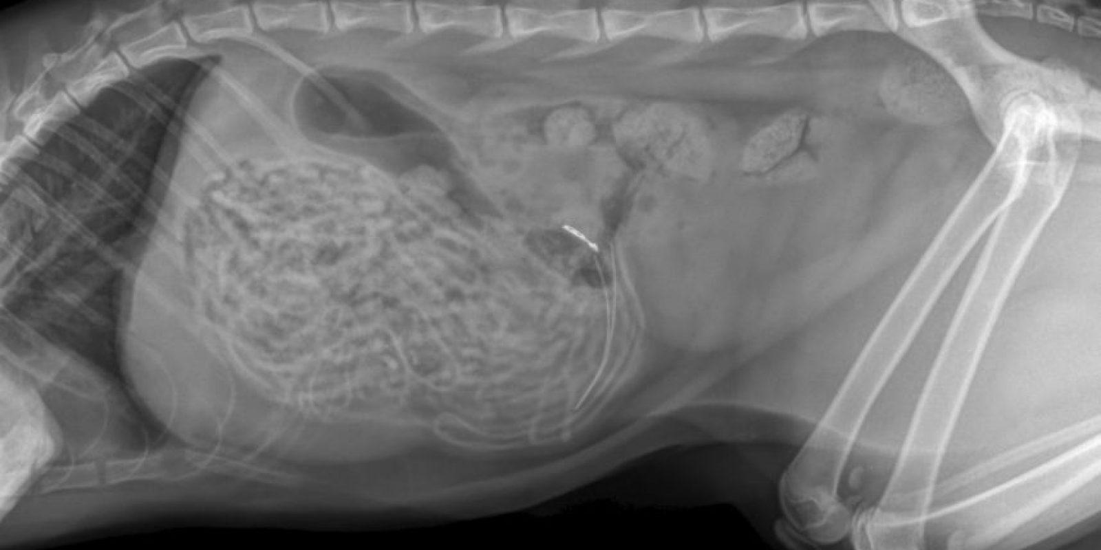 Un gato es fanático de comer ligas para el cabello. Foto:Vía Veterinary Practice