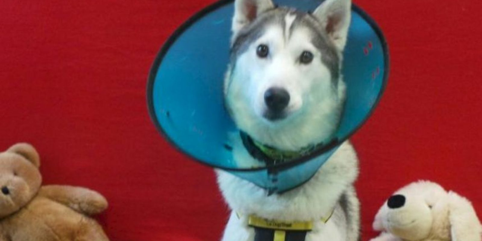 Ramsez ahora se esta recuperando Foto:Vía dogstrust.org.uk