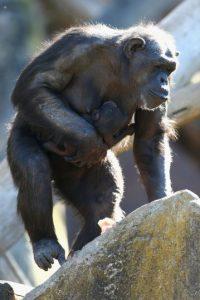 Él fue el único sobreviviente del ataque de un grupo de chimpancés salvajes del Congo. Foto:Getty Images
