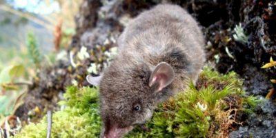 No saltan, pero sí se arrastran y trepan. Foto:vía Mammalogy.org