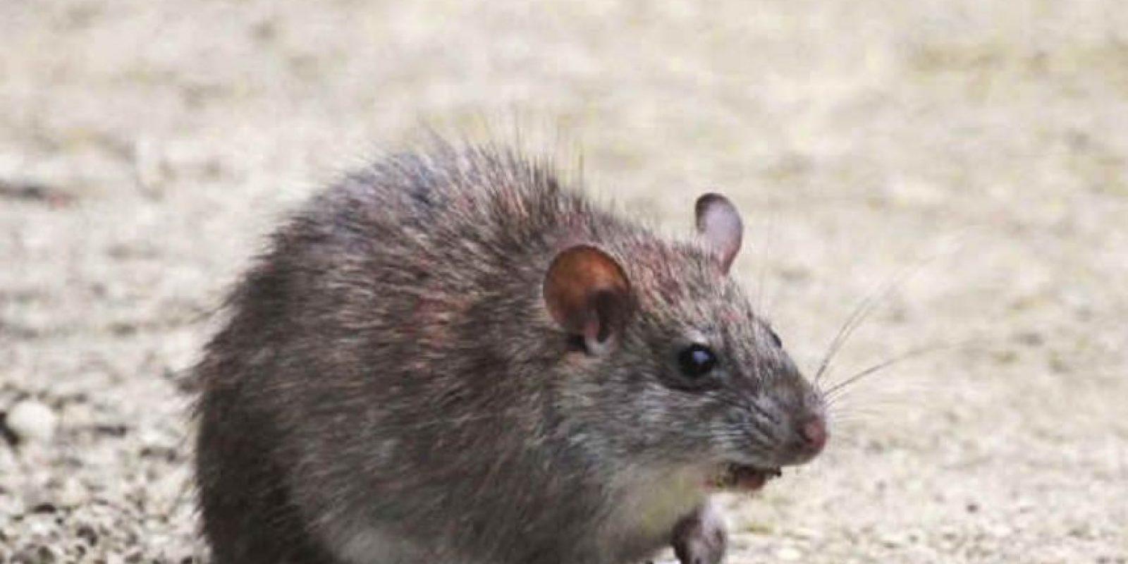 Se alimentan de invertebrados y frutas. También de pequeños vertebrados. Foto:vía Mammalogy.org