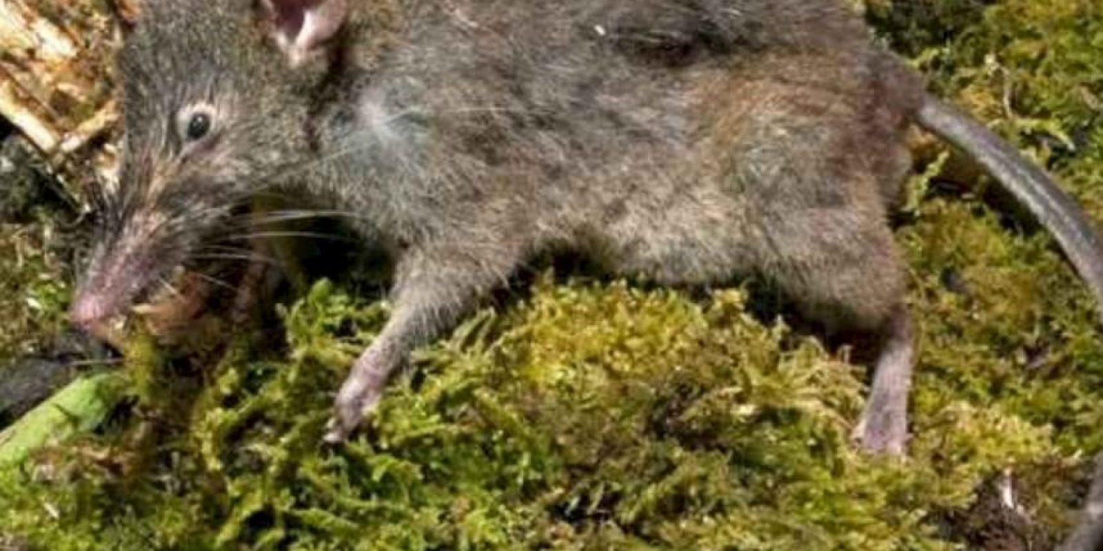 Pertenecen al género Caenolestes. Hay cuatro subespecies de ellos. Foto:vía Mammalogy.org