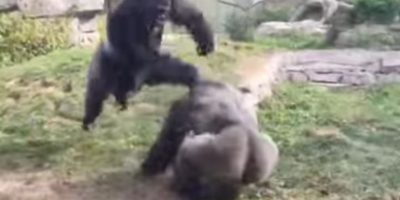 Gorilas se enfrentan en una épica batalla de box y el video se vuelve viral