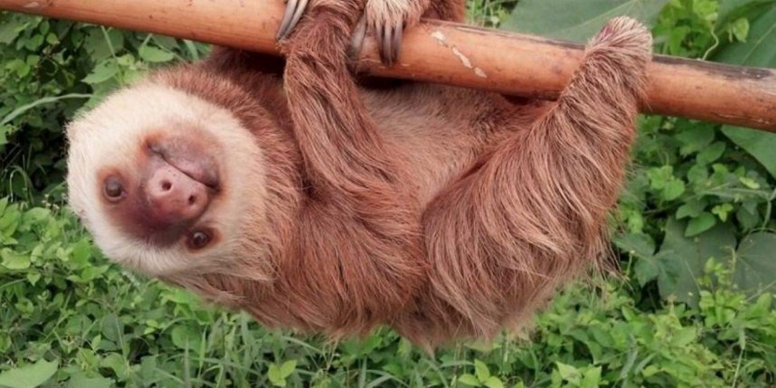 En tierra es un animal muy lento, sin embargo es muy ágil para moverse entre las ramas de los árboles donde vive. Foto:Vía facebook.com/ctecuador