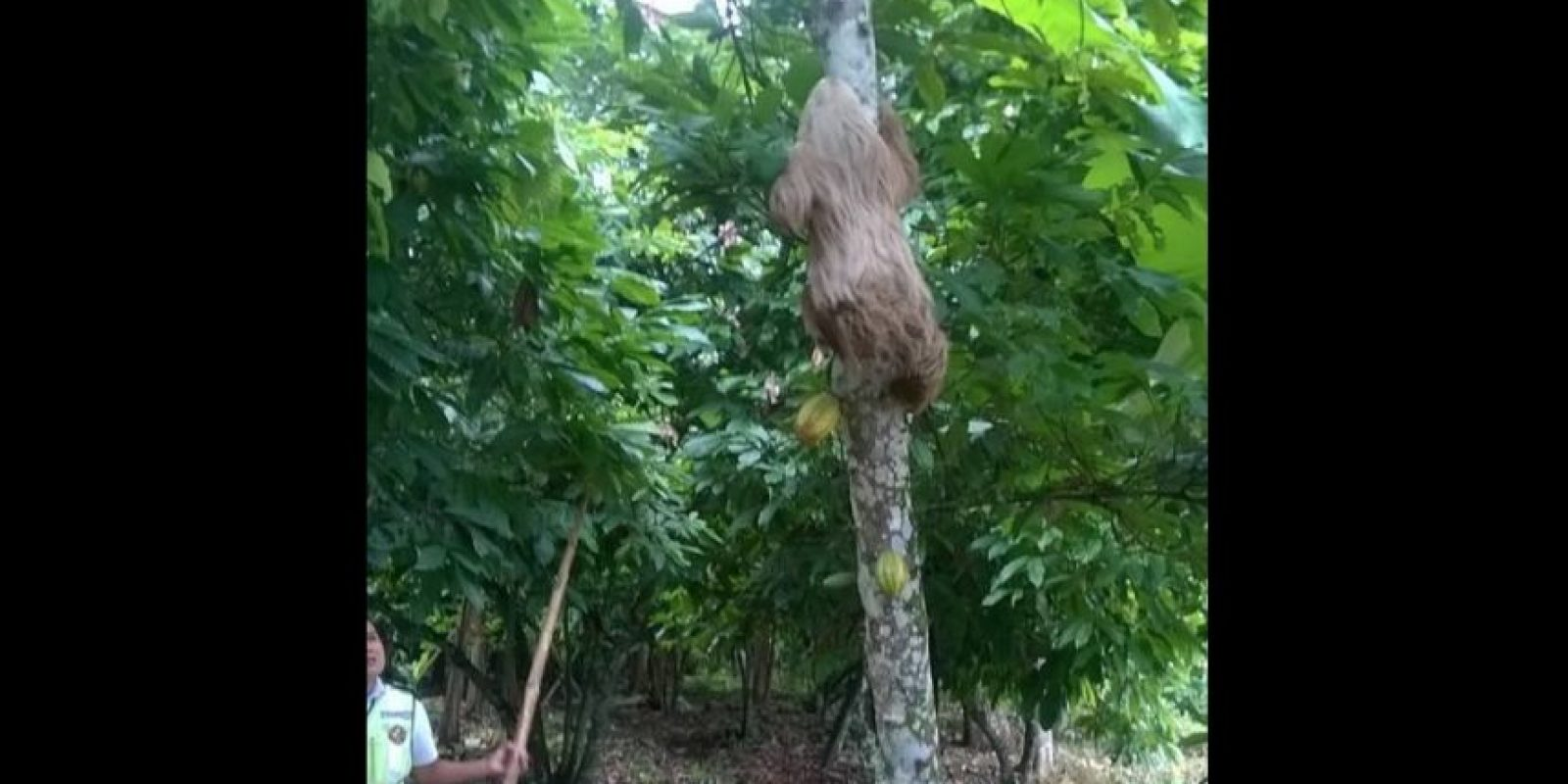 Comunmente, su alimentación se basa en hojas de árboles. Foto:Vía facebook.com/ctecuador