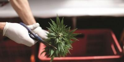 Legalización de marihuana corta el flujo de dinero de los carteles