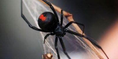 Araña espalda roja: su picadura puede ser mortal si no se trata rápidamente. Foto:aracnipedia.com