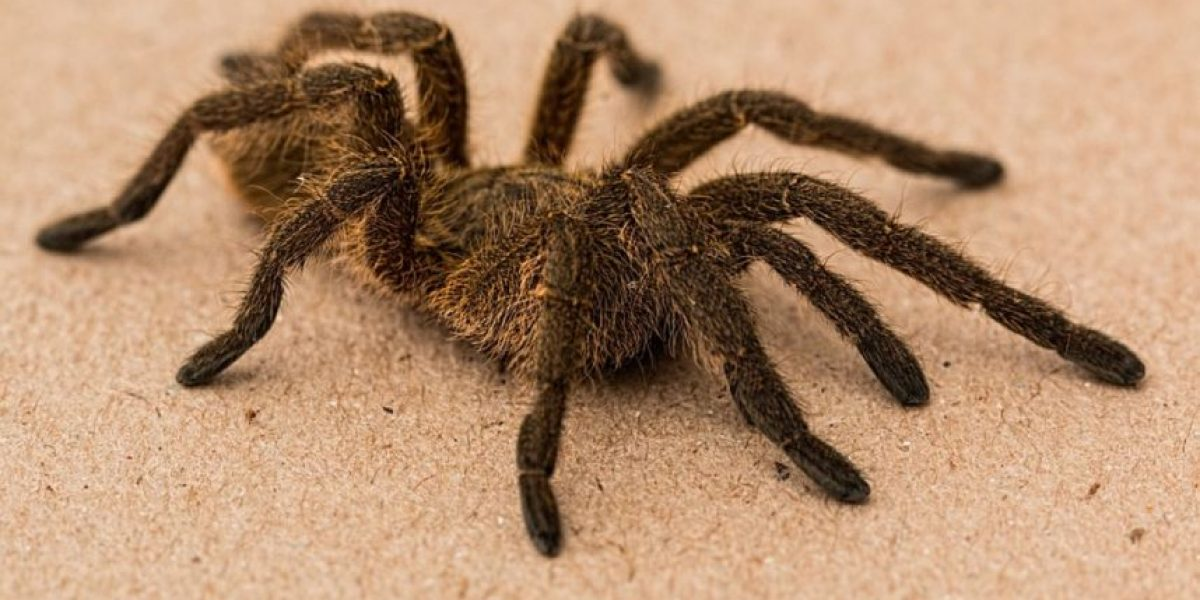 "Descubren a la araña más ""monstruosa"" en Estados Unidos"