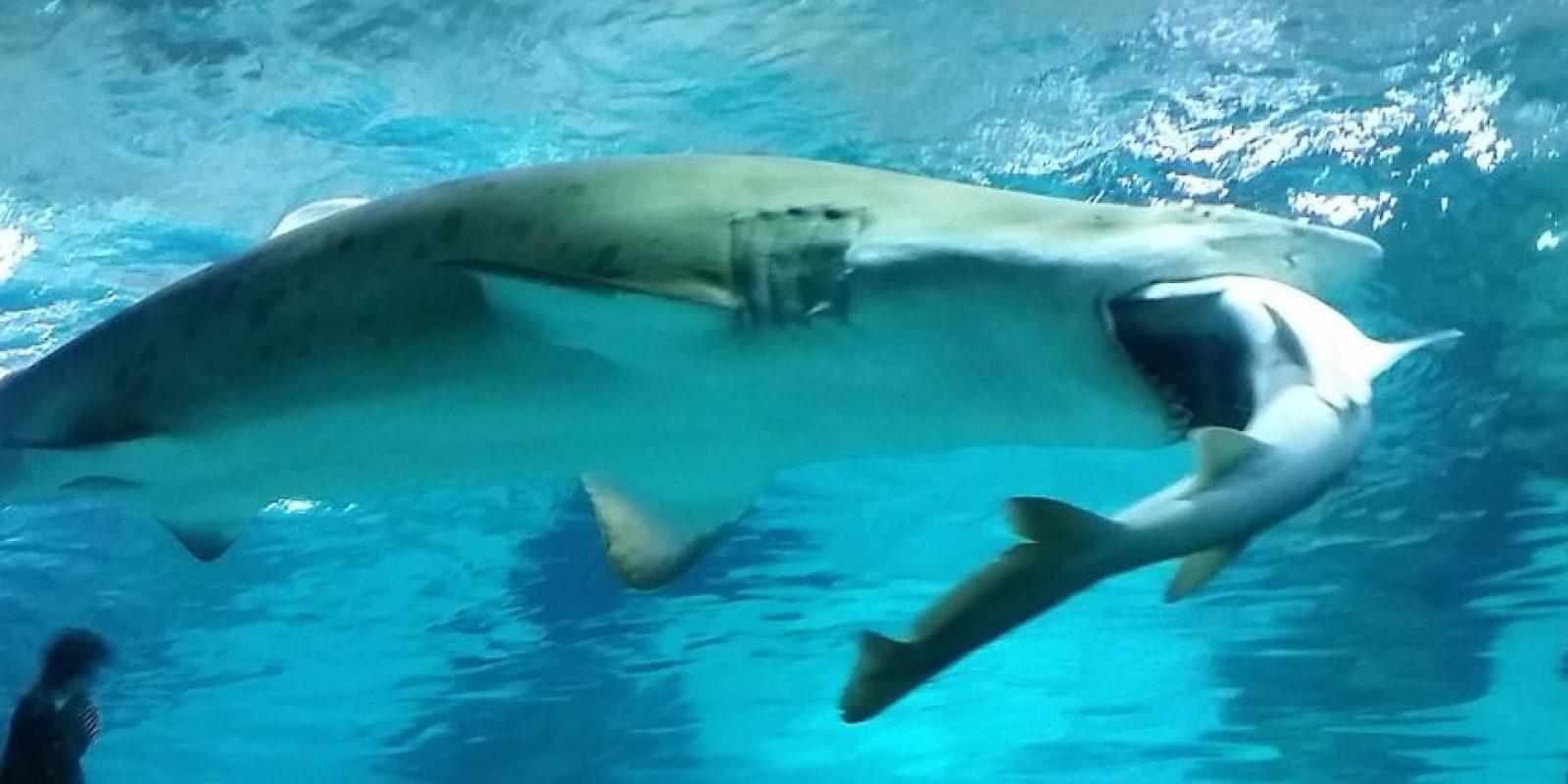 Algunas de las especies más grandes de tiburones son, de hecho, bastante inofensivos y prefieren las plantas. Foto:Getty Images