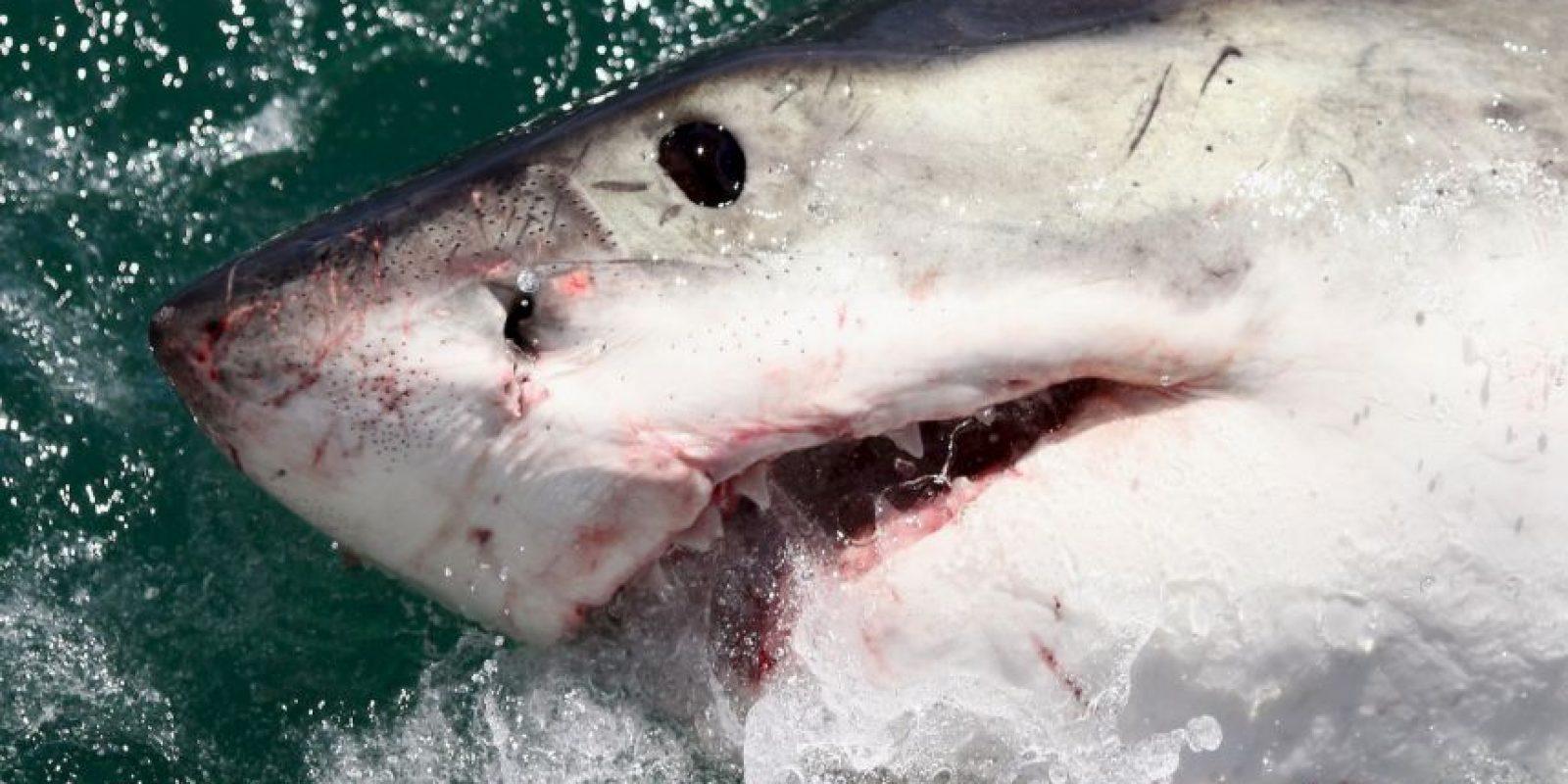 Los tiburones blancos tienen forma de torpedo y potentes colas que les permiten desplazarse a velocidades de hasta 25 kilómetros por hora. Foto:Getty Images