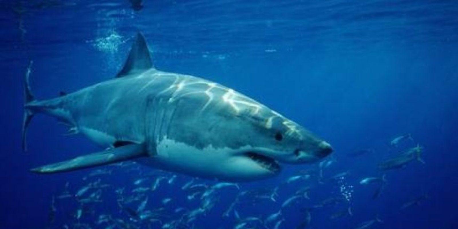 Tiburón blanco Foto:pixabay.com