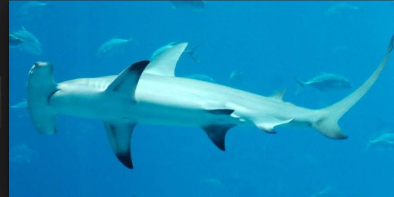 Tiburón martillo Foto:Wikipedia.org
