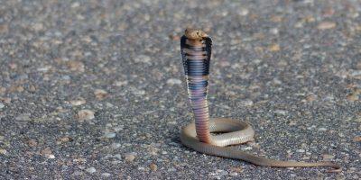 La cobra de Mozambique puede escupir veneno hasta una distancia de 2.4 metros de distancia. Foto:Vía Flickr