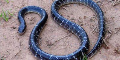 La serpiente Krait solo se encuentra en Asia. Foto:lareserva.com