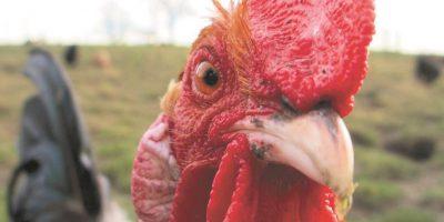 Pollos genéticamente modificados que no transmiten la gripe aviar. Investigadores de la Universidad de Cambridge, Inglaterra, han producido pollos que no propagan la gripe aviar a otras aves de corral. Es un paso importante hacia la protección de las aves y los seres humanos ante el virus mortal. Los pollos se modificaron para expresar un fragmento de ARN (ácido ribonucleico) que actúa como un señuelo para una enzima viral clave. El resultado es que el virus no se propaga a otros pollos, pero las aves transgénicas todavía pueden morir del virus. Foto:Fuente Externa