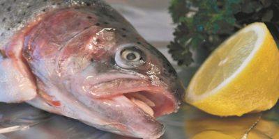 Salmón de crecimiento rápido. El salmón de rápido crecimiento, desarrollado por AquaBounty Tecnologías de Maynard, Massachusetts, EE.UU., es el primer animal genéticamente modificado en ser aprobado para consumo humano en los Estados Unidos. El pescado modificado genéticamente, llamado salmón AquAdvantage, se ha diseñado para alcanzar su tamaño máximo en sólo 18 meses en lugar de tres años. Foto:Fuente Externa
