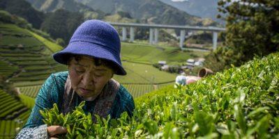 Té verde se obtiene de la planta Camellia Sinensis Foto:Getty Images