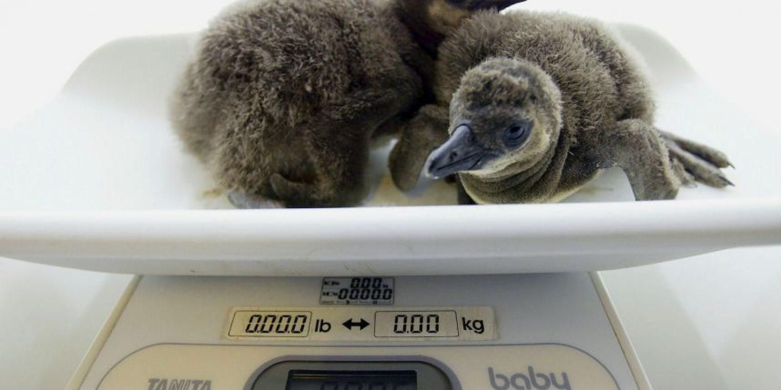 Se conocen 17 especies de pingüinos en el mundo Foto:Getty Images