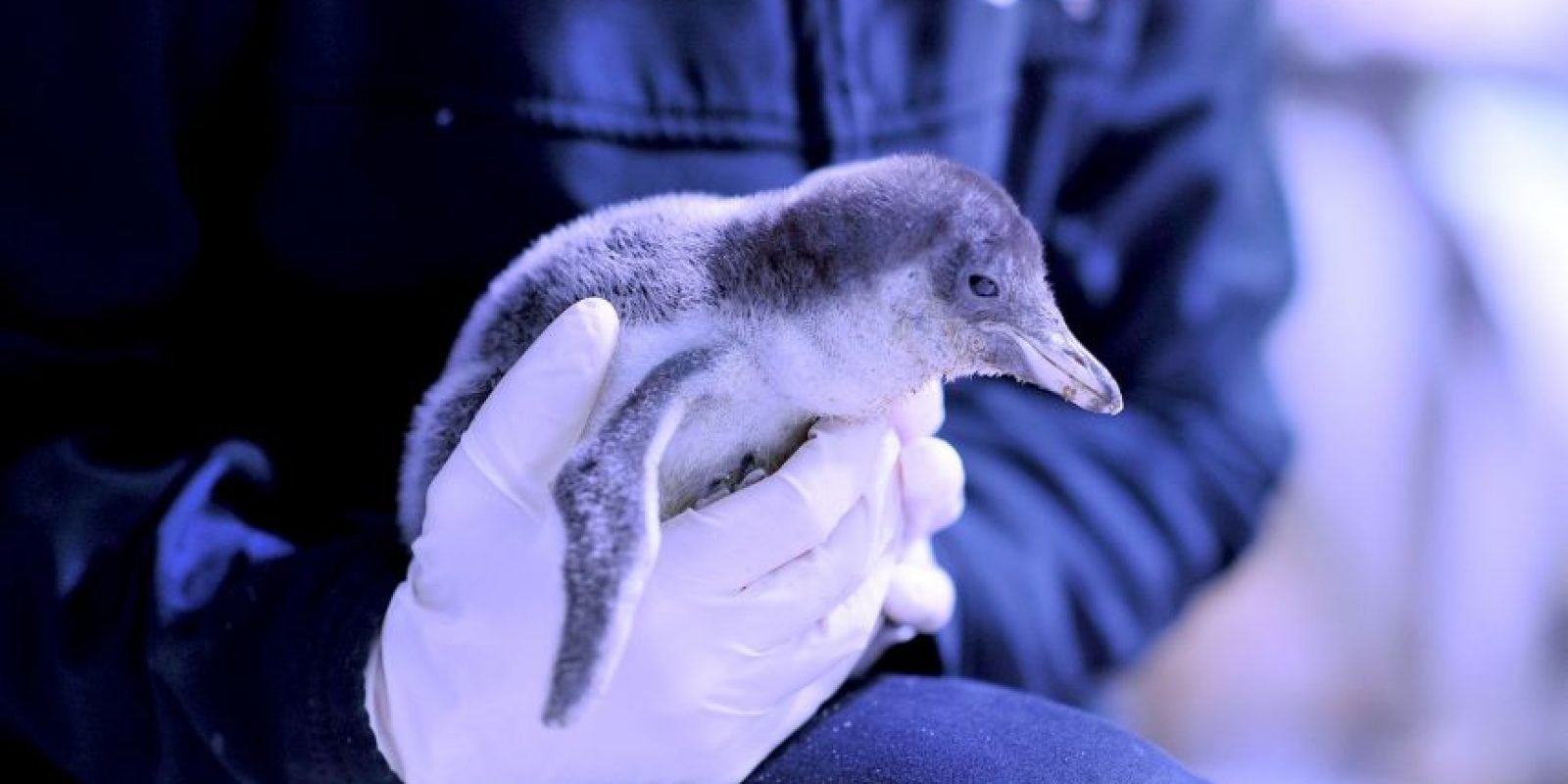 El pingüino azul es el más chico del mundo. Información: Muy Interesante. Foto:Getty Images